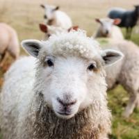 Schiebepuzzle mit dem Motiv Mein Name ist Schaf
