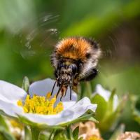 Schiebepuzzle mit dem Motiv Biene an der Erdbeerblüte